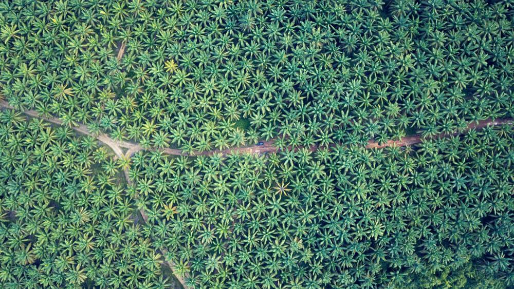Biodizel: v naše rezervoarje priteka vse več palmovega olja