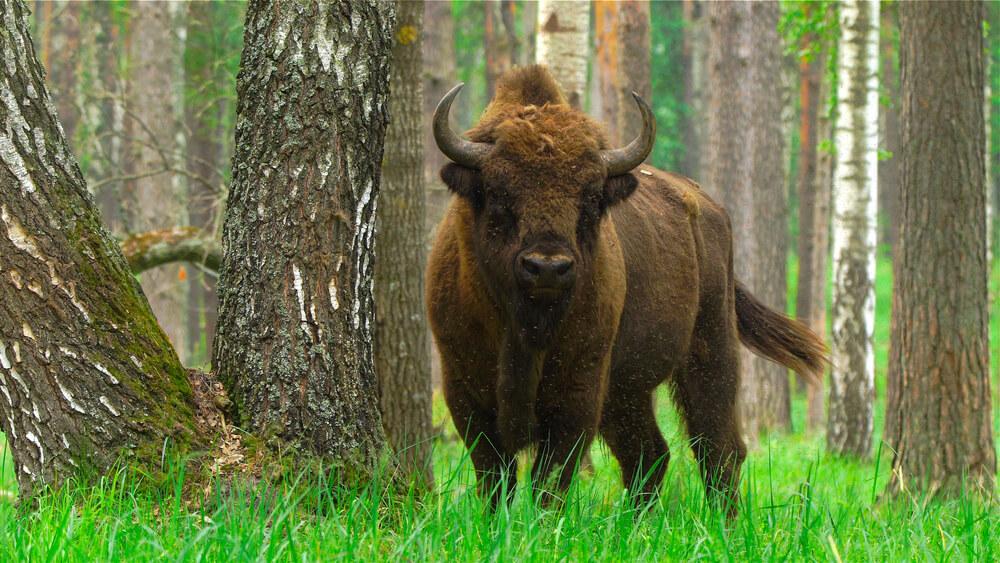 V Veliki Britaniji se v divjino prvič po stoletjih vračajo bizoni