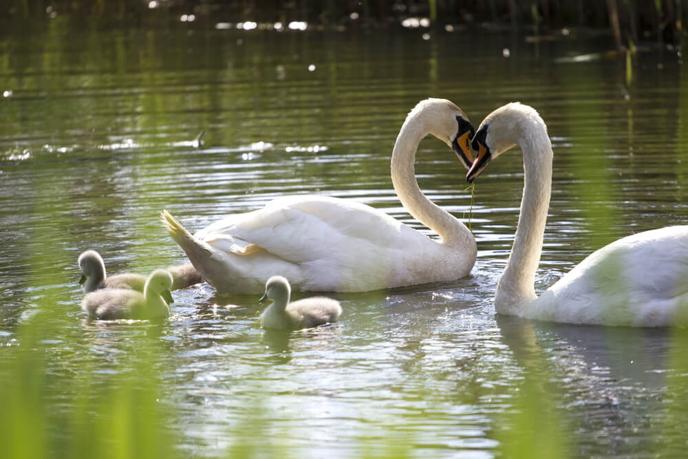 Na Koseškem bajerju so 'poobročkali' mladičke labodjega para