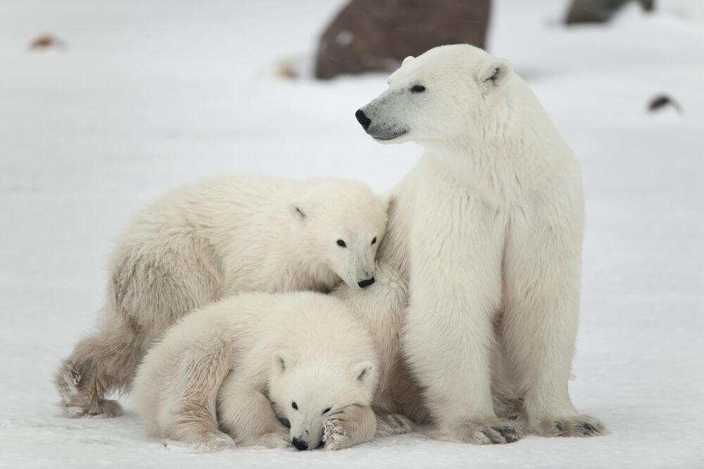 Podnebne spremembe: Polarnim medvedom grozi izumrtje do leta 2100