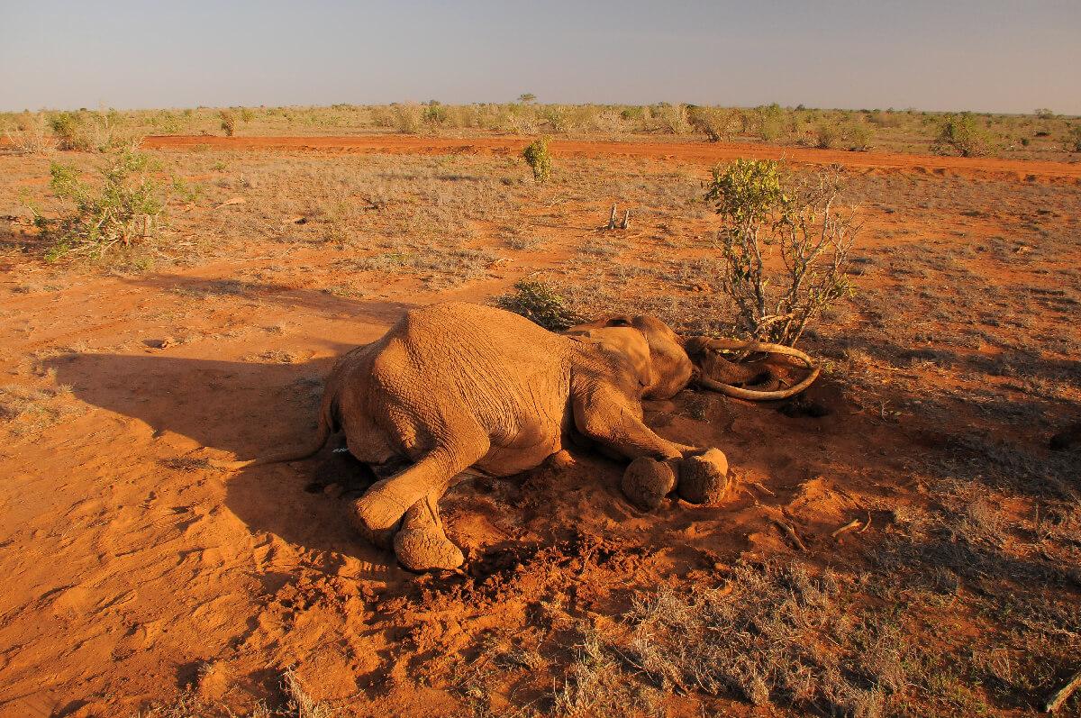 Skrivnostna smrt več kot 350 slonov v Bocvani