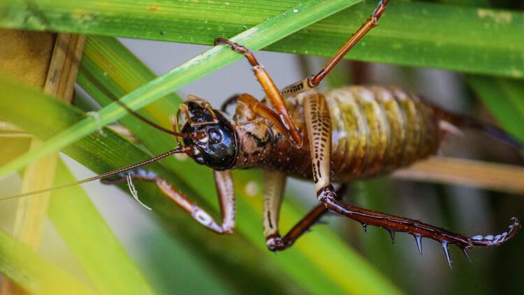 """""""Weta"""" – največja žuželka na svetu"""
