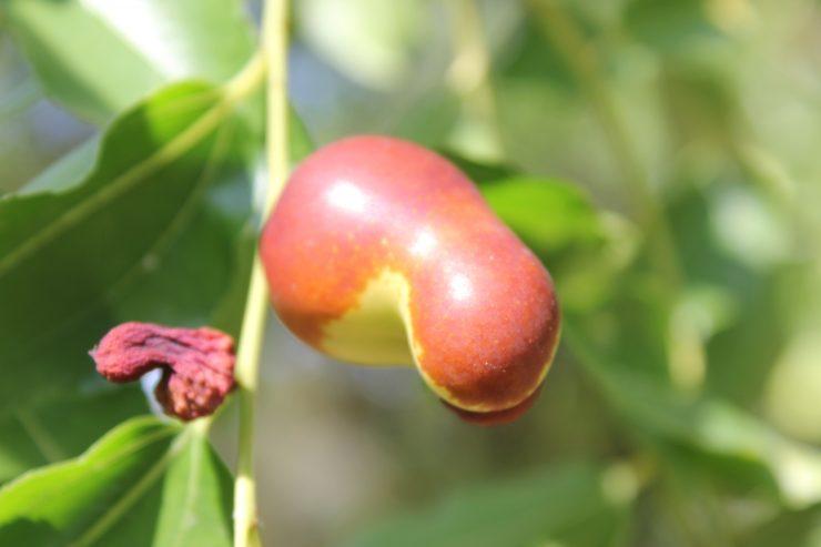 Bogastvo C vitamina s svetega drevesa - žižola