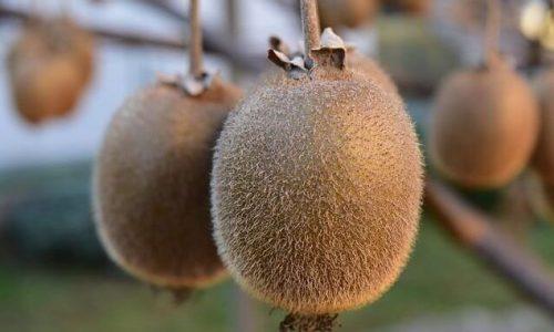Kivi (aktinidija) je zanimiva plezalka, ki se je pri nas dobro udomačila, njene plodove pa lahko uživamo pozno v pomlad.