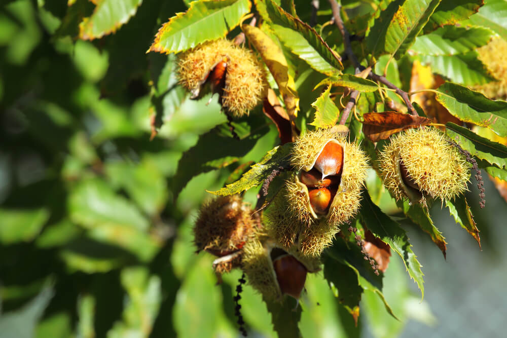 Pomagajte popisati divje kostanje in oceniti zdravje dreves