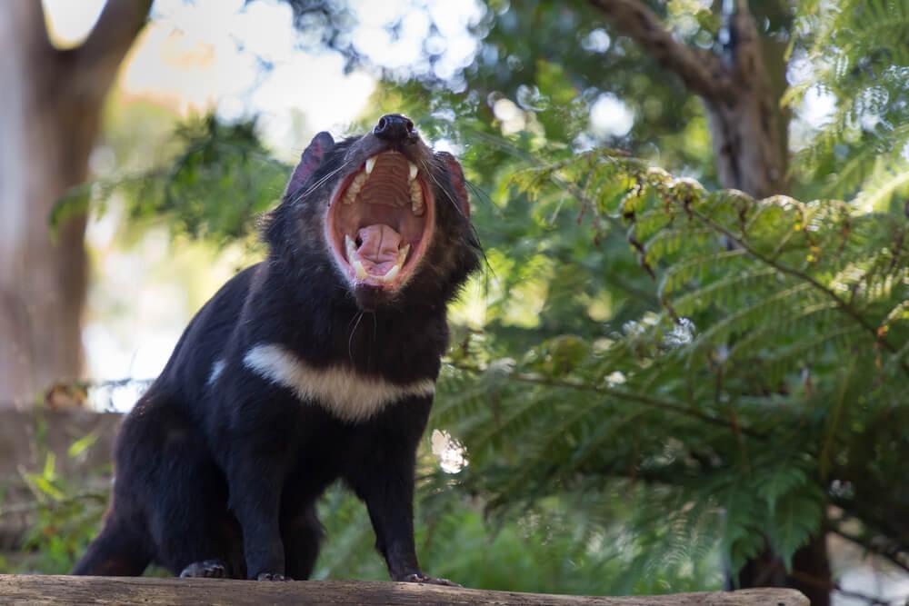 Tasmanski vragi ponovno naseljeni na celino Avstralije