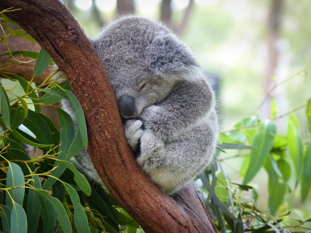 Bodo koale pristale na seznamu ogroženih vrst?