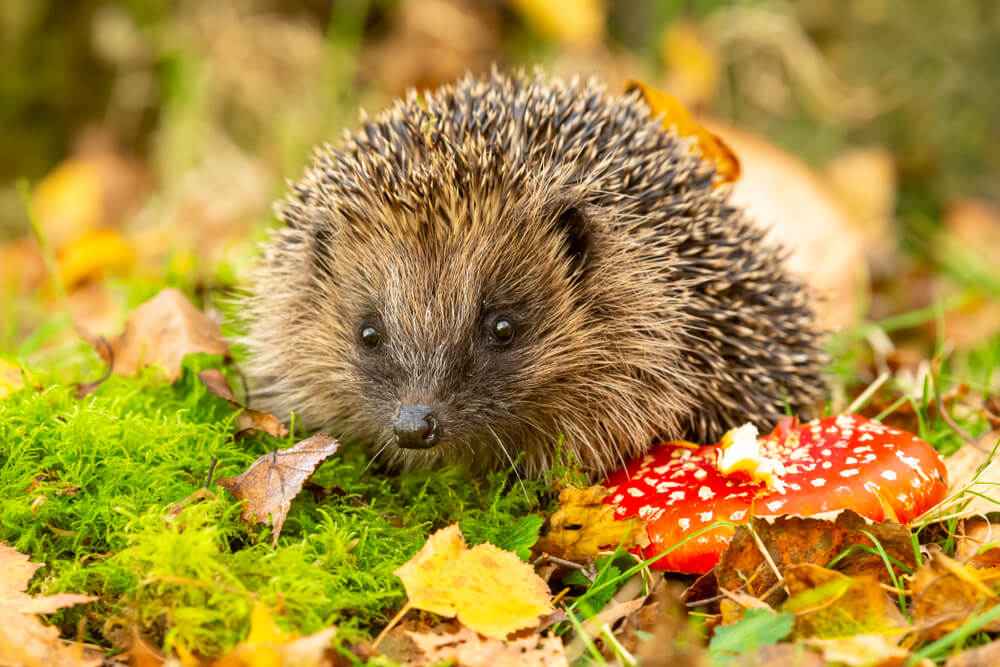 Kako pomagati ježkom, da bodo preživeli zimo?