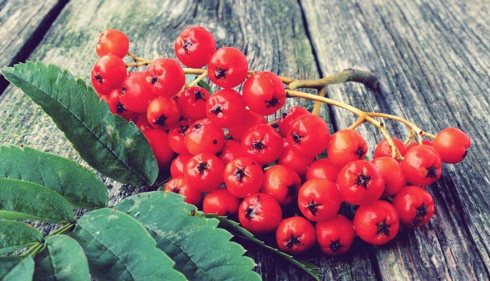 Jerebika – zdravilne rdeče jagode jeseni