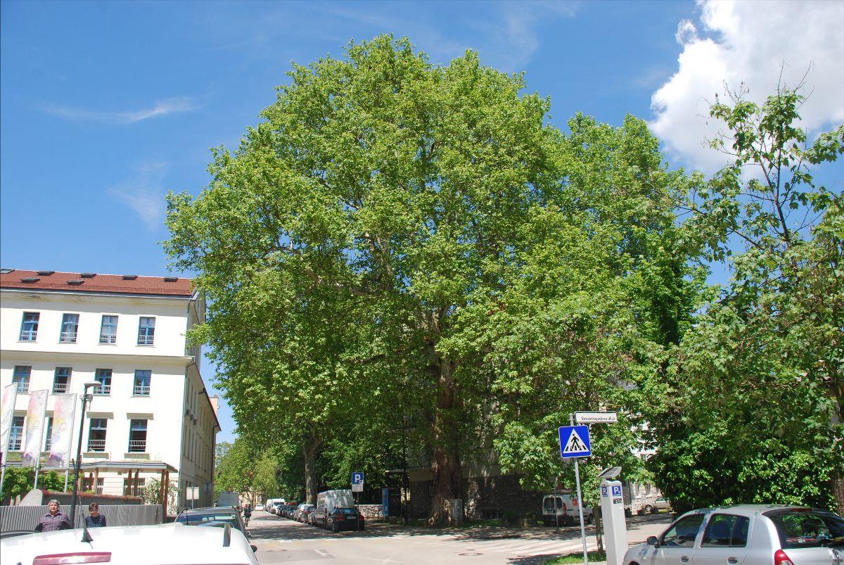Ljubljana izbira drevo leta - med finalisti bo odločil glas ljudstva