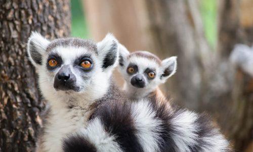 Lemurji - prikupne živali z Madagaskarja