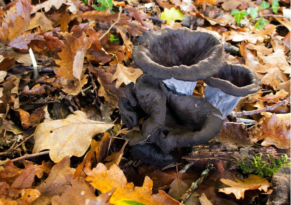 Črna ali mrtvaška trobenta - goba za začimbo marsikatere jedi