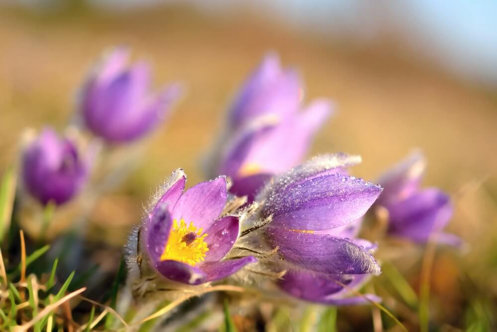 Cvetoča velikonočnica - veliki kosmatinec
