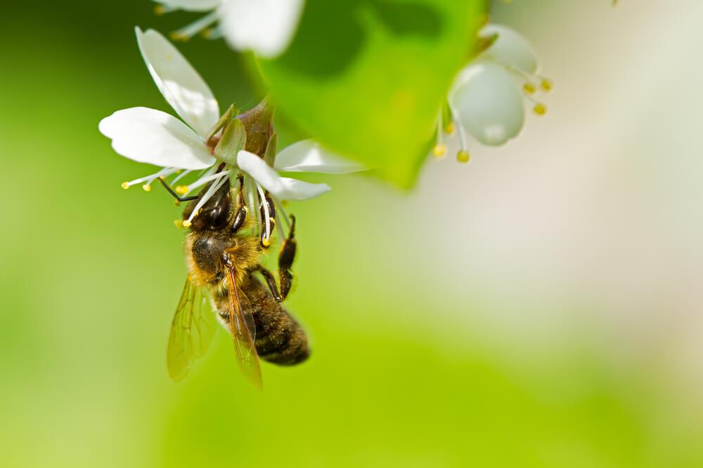 Slovenija ne pristaja na zmanjševanje zaščite čebel in drugih opraševalcev