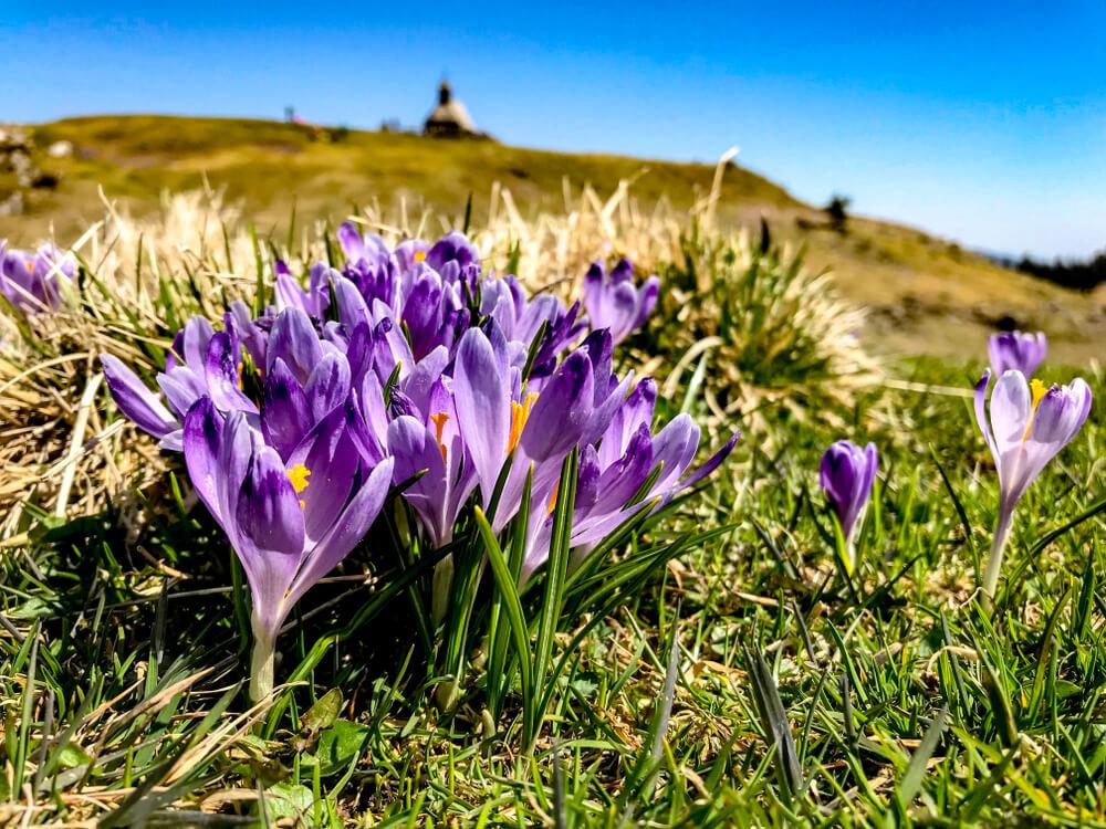 Žafran - čudovit okras v naravi in hkrati draga začimba