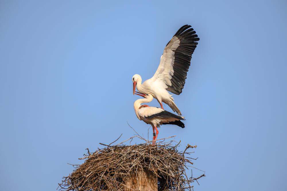 FOTO: Gregorjevo, ko se ptički ženijo ...