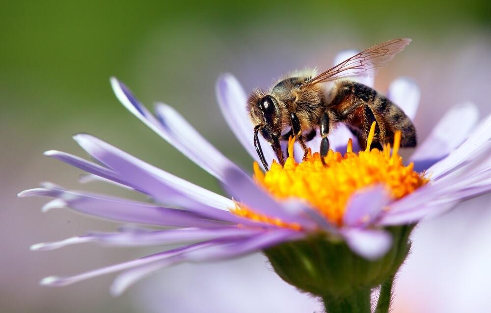 Čebelarska zveza odločno proti zmanjšanju zaščite čebel