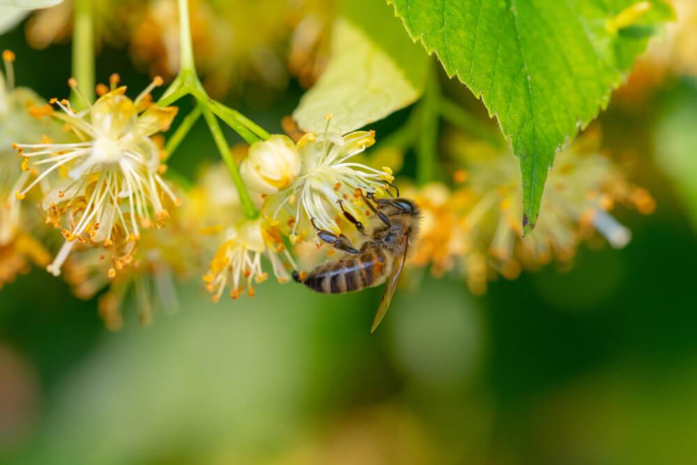 V Zgornji Savinjski doline zasajajo medovite lipe