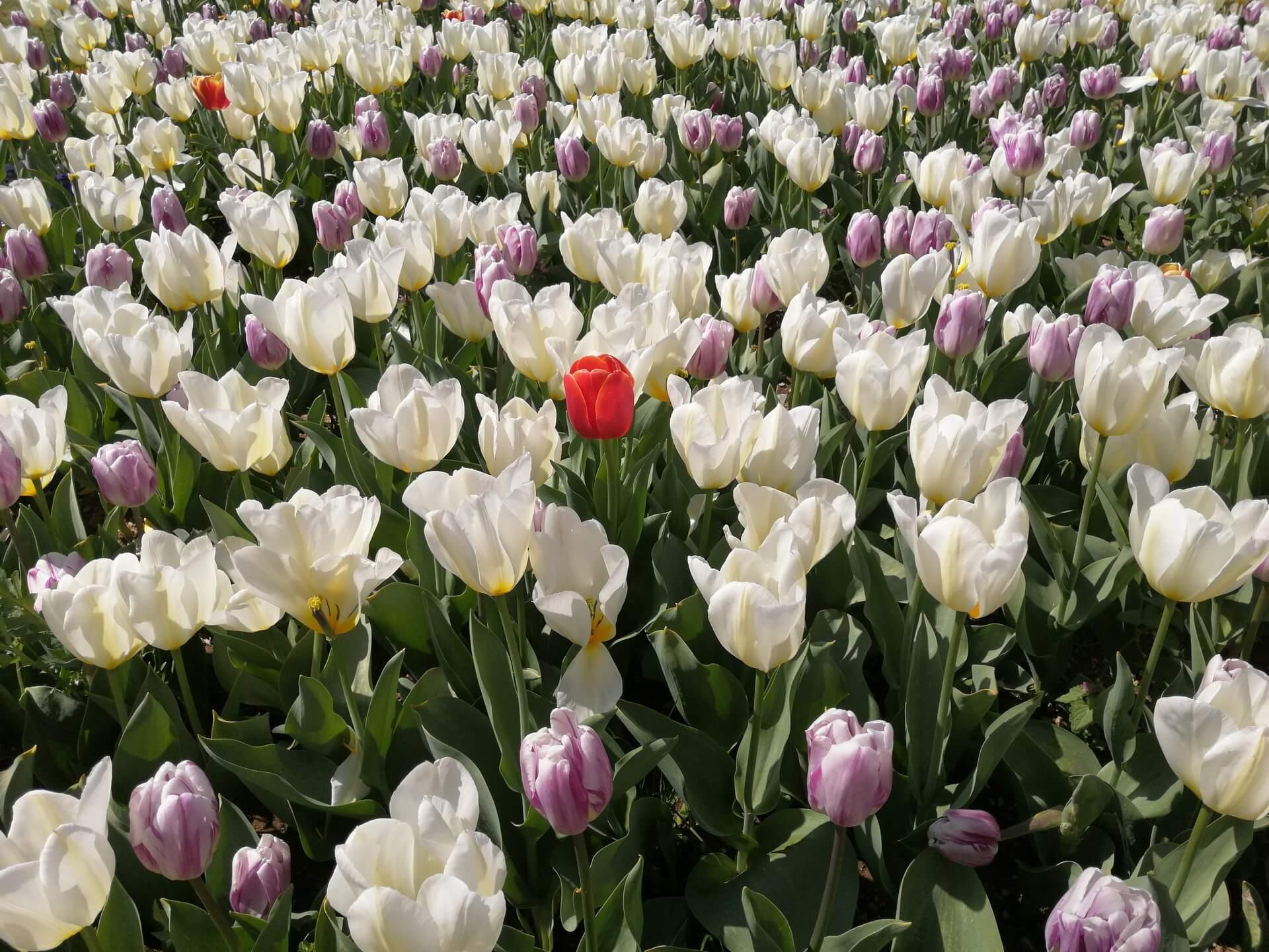 Arboretum Volčji potok v času tulipanov